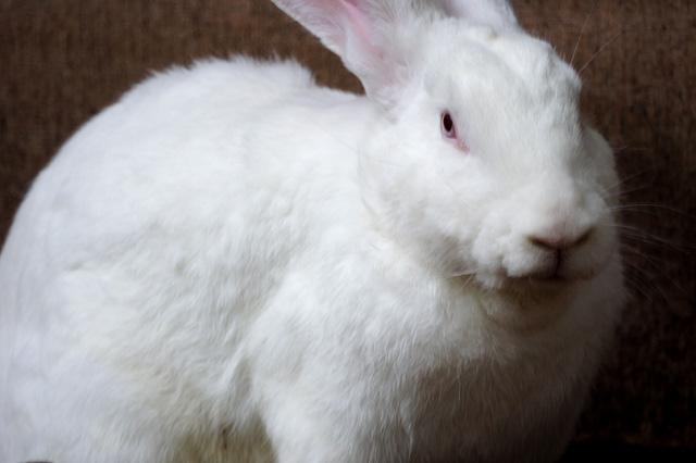白ウサギの写真素材 フリー