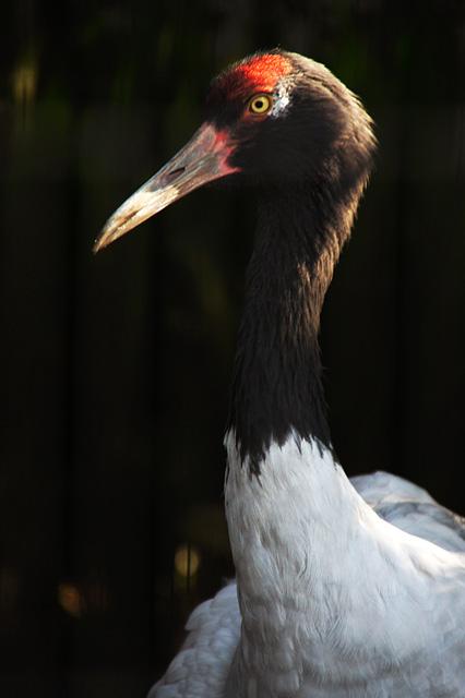 丹頂鶴の写真素材 フリー