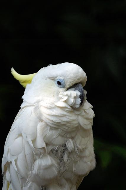 アオメキバタン