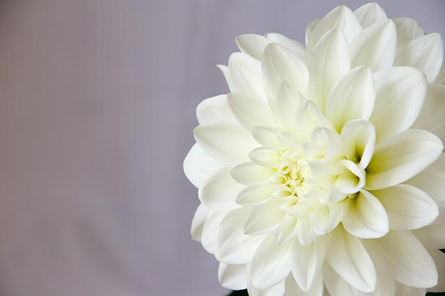 白いダリアの写真素材 フリー
