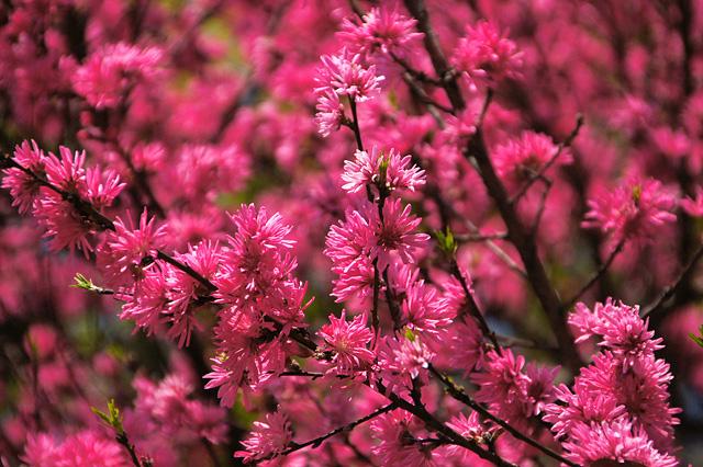 満開の菊桃の花のフリー写真素材
