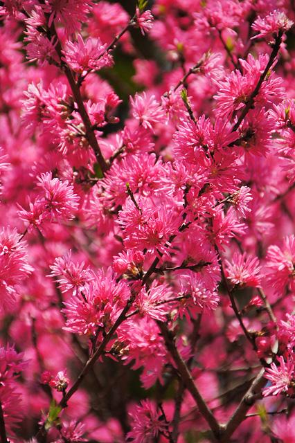 満開の菊桃の花の無料写真素材