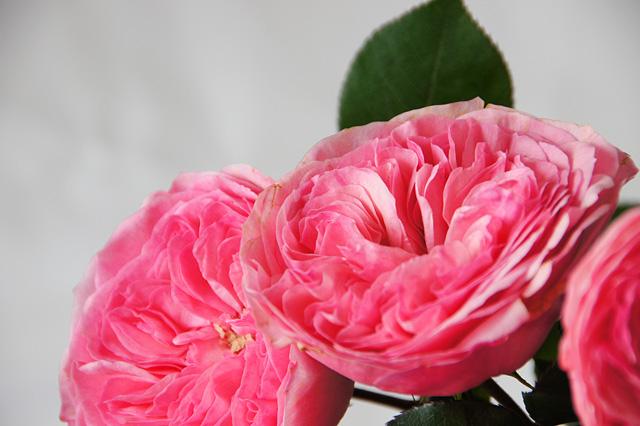 ピンクのマリアテレジア