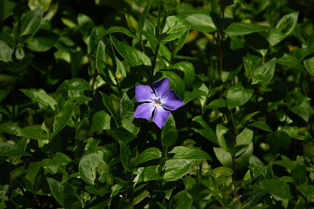 野に咲く紫色の花の写真素材 フリー