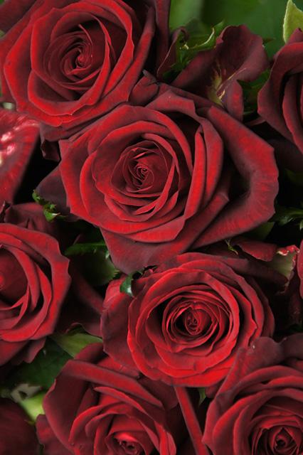 赤い薔薇の写真素材 フリー
