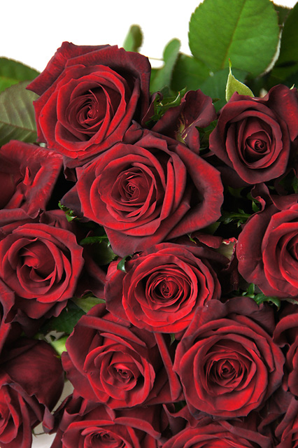 赤い薔薇のフリー写真素材