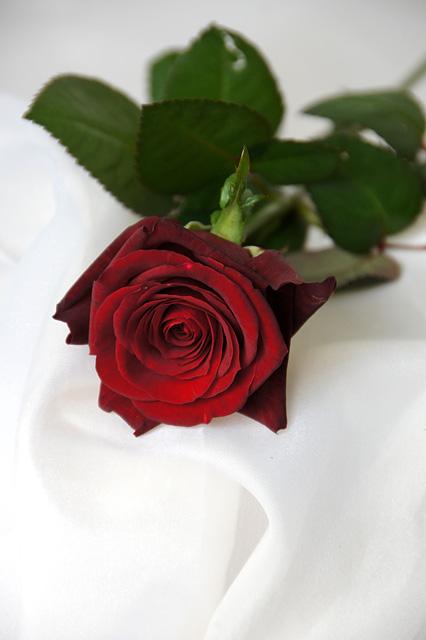 一輪の薔薇の無料写真素材