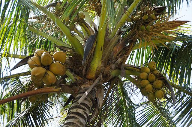 ココナツの木