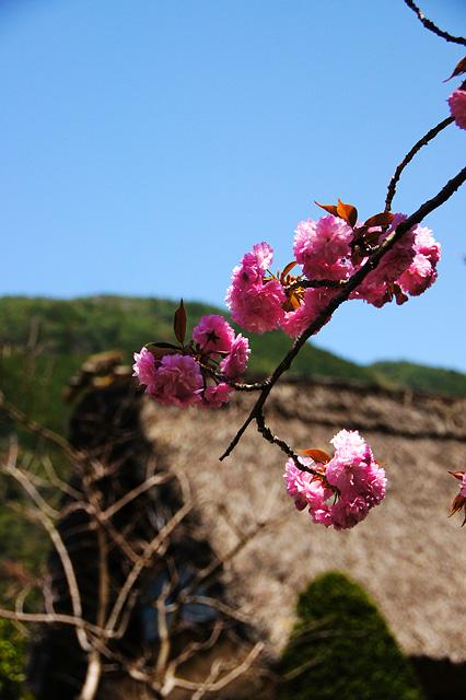 茅葺き屋根と八重桜