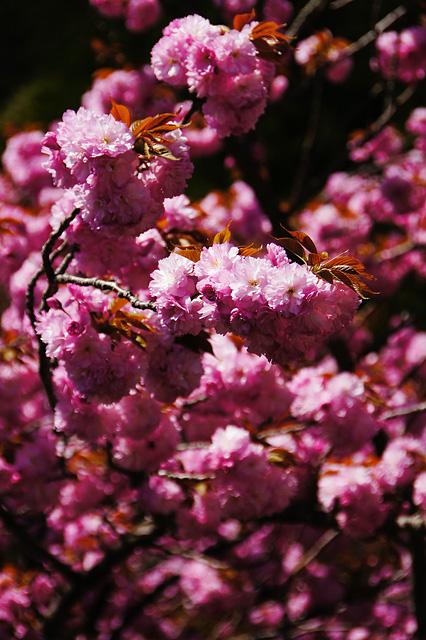 満開の八重桜のフリー写真素材