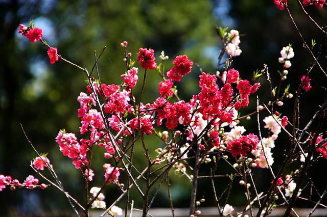 色違いの桜