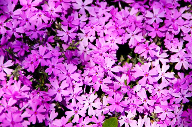 芝桜の写真素材 フリー