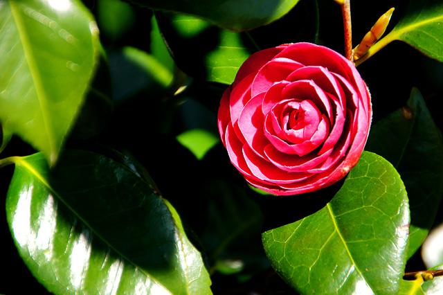 ツバキの花の写真素材 フリー