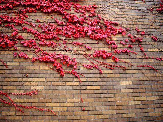壁の紅葉の写真素材 フリー