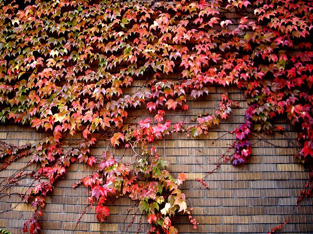 壁の紅葉のフリー写真素材