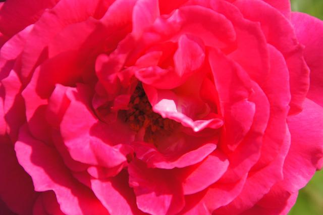 薔薇の花のアップ