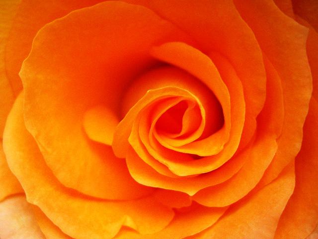 オレンジの薔薇のアップ