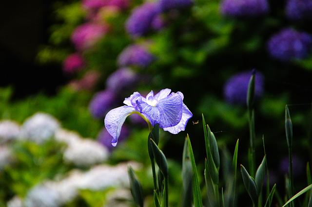 菖蒲の花の写真素材 フリー