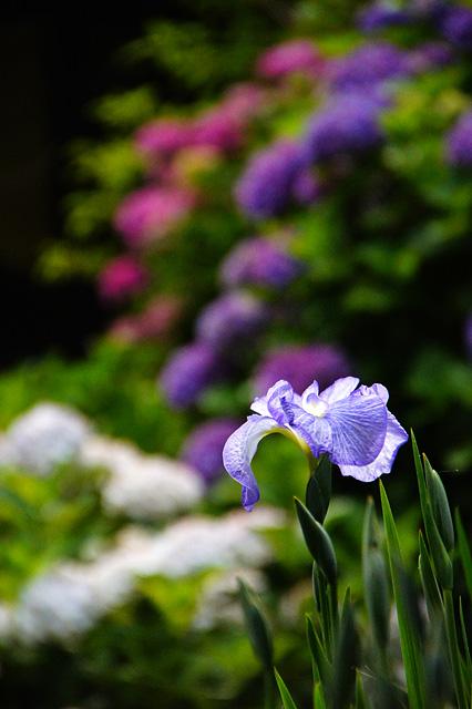 菖蒲の花の無料写真素材
