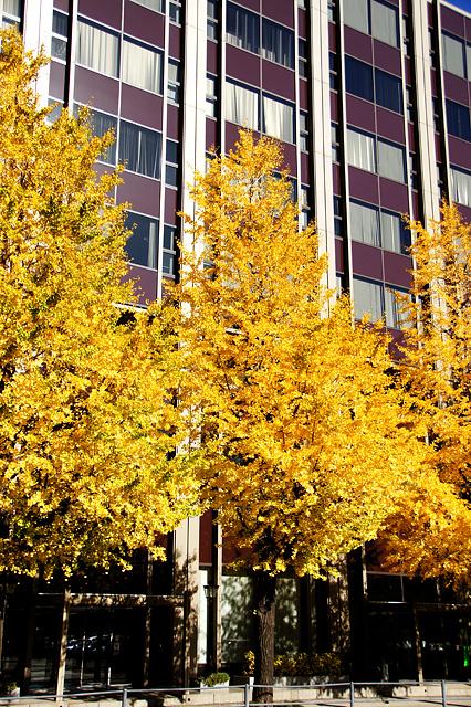 街路樹の銀杏の紅葉
