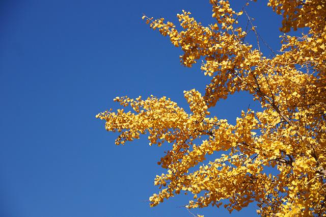 青空と銀杏の葉の写真素材 フリー