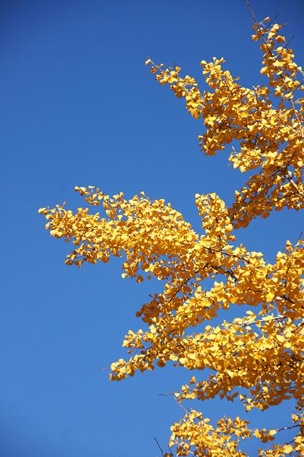 青空と銀杏の葉の無料写真素材