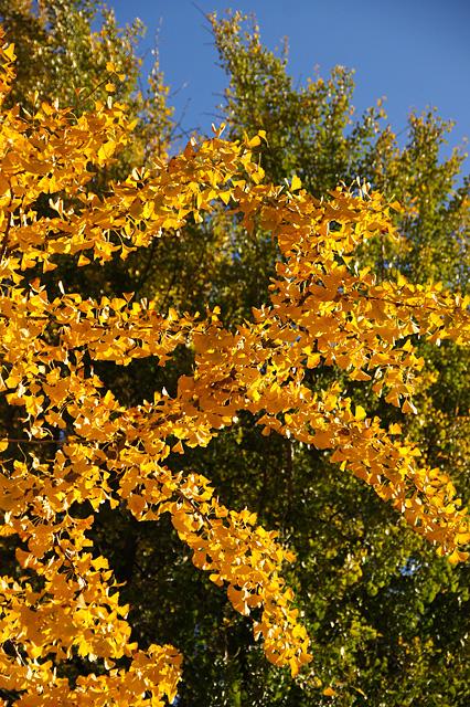 黄色いいちょうの木