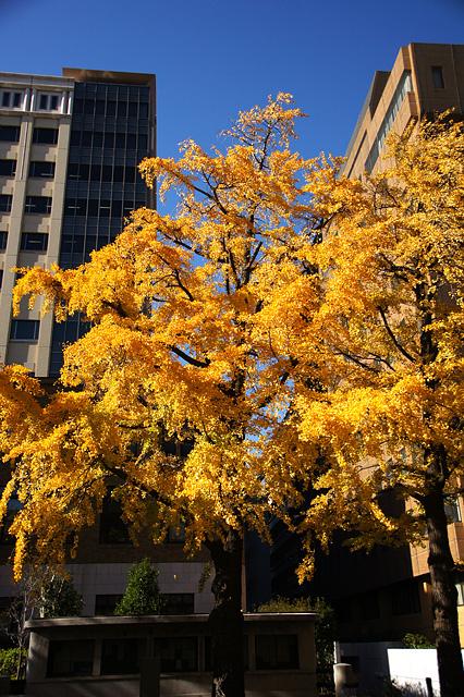 秋の日本大通り
