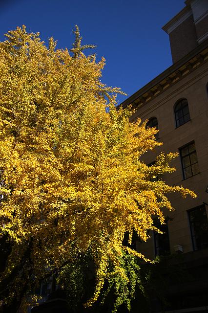 黄金色の銀杏の無料写真素材