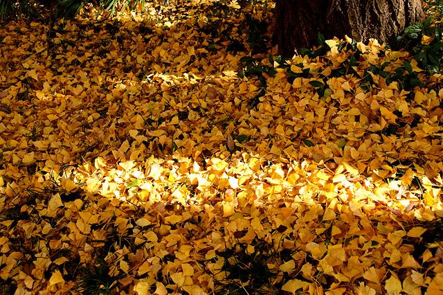 たくさんの銀杏の落ち葉