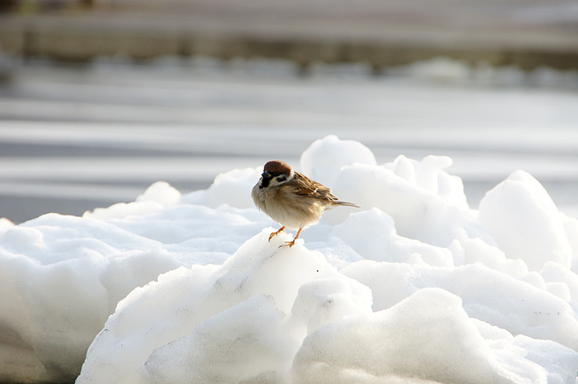 冬の雀の無料写真素材