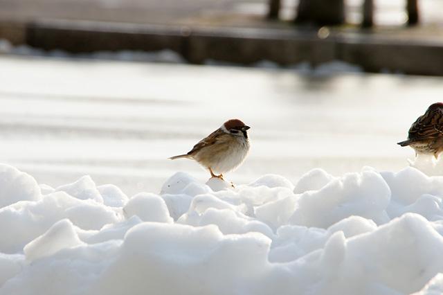 冬の雀の写真素材 フリー
