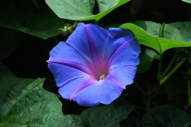 青紫色の昼顔