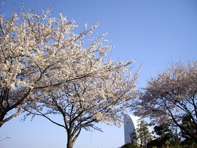 桜と横浜みなとみらいの風景のフリー写真素材