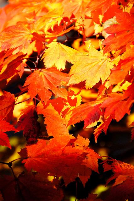 オレンジ色の紅葉した葉っぱ