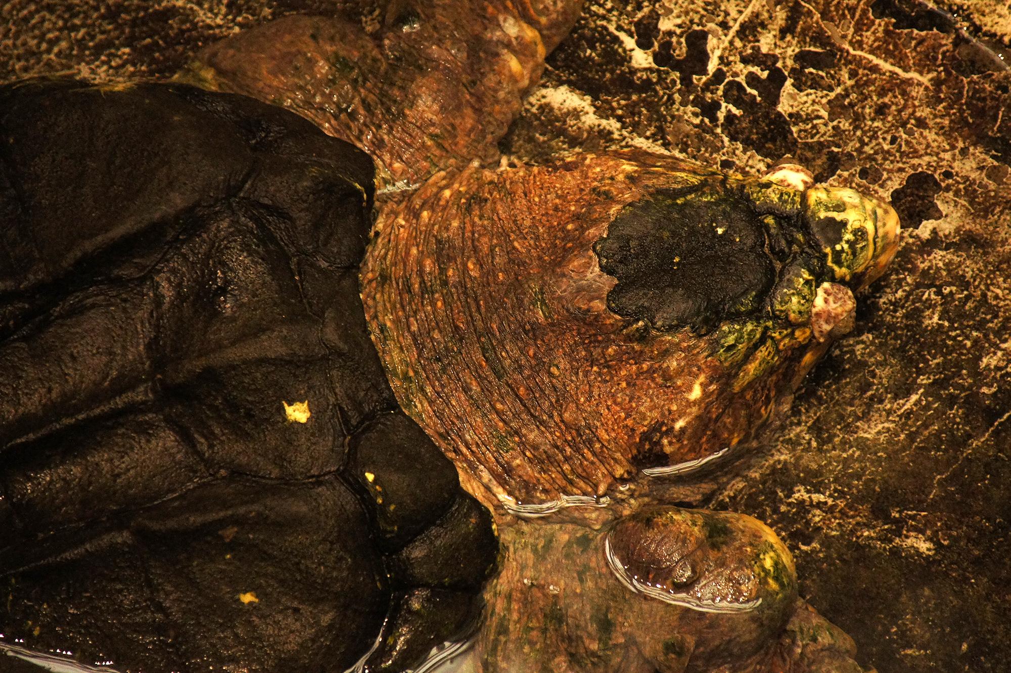 ワニガメの写真のフリー素材
