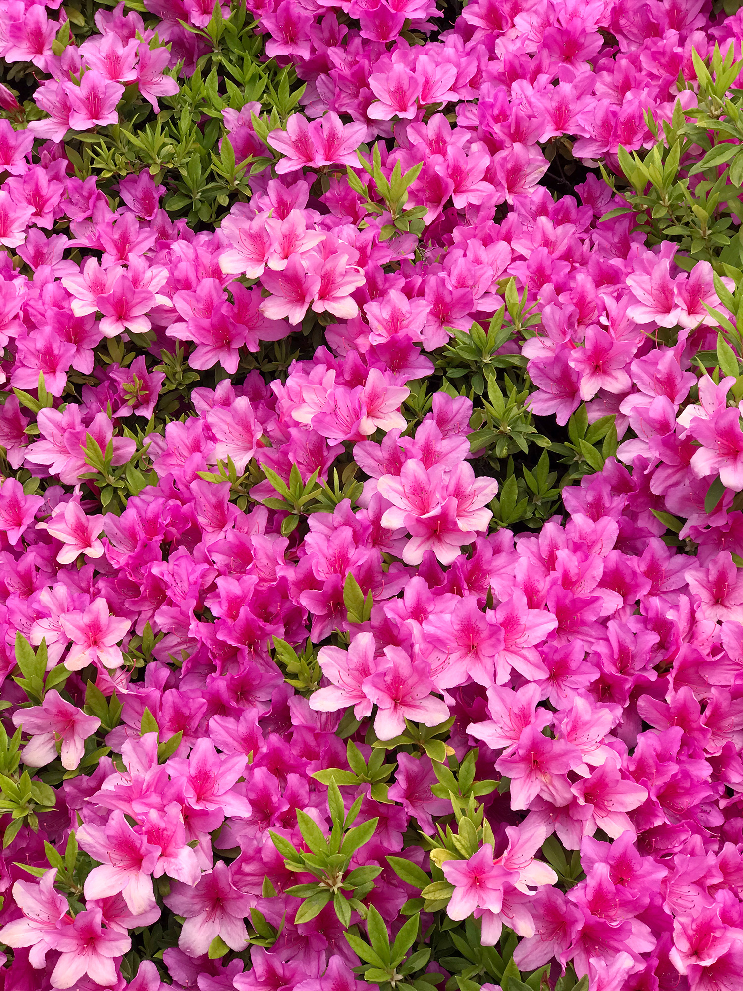 満開のツツジの花