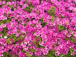 鮮やかのピンク色の躑躅の写真素材(フリー)