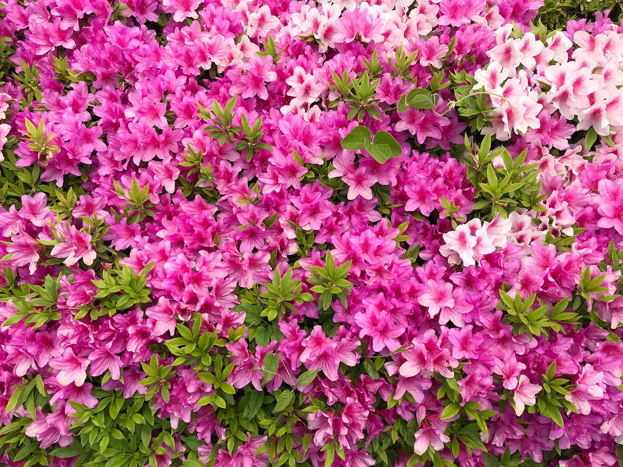 たくさんのツツジの花の写真素材(フリー)