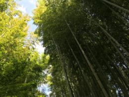 竹林の無料写真素材