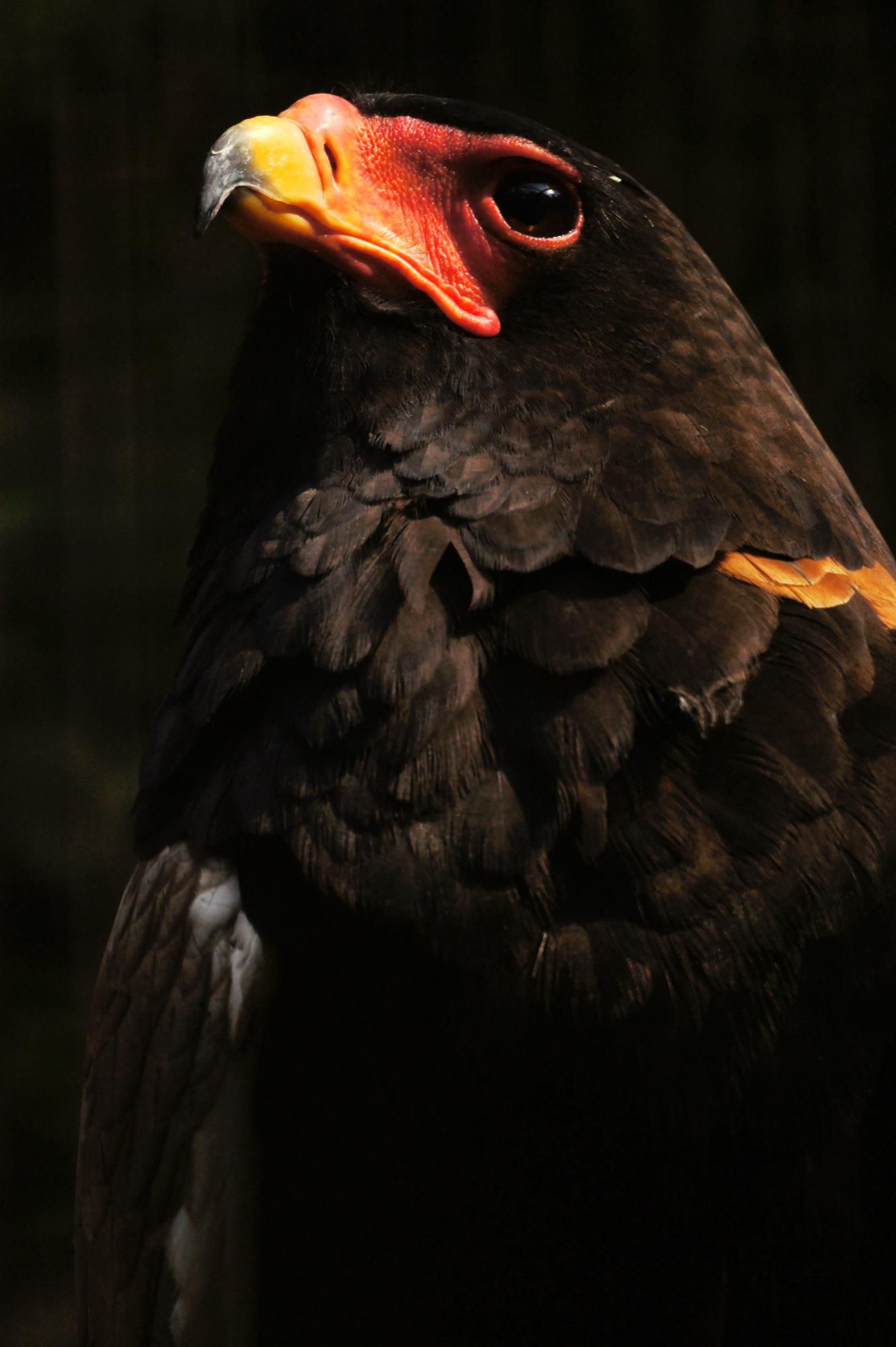 達磨鷲の写真のフリー素材