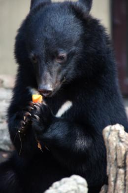 餌を食べる熊のフリー写真素材