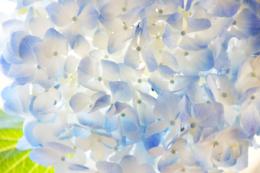 全面で撮影したあじさいの花