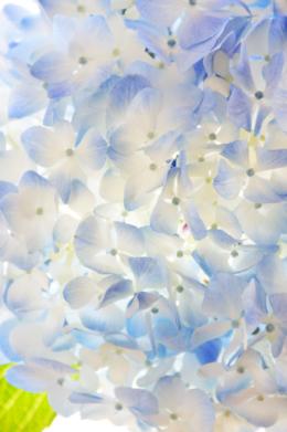 光りが透けている紫陽花の花