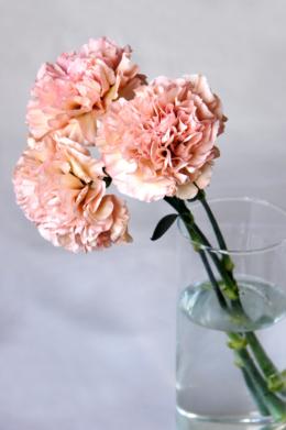 ピンクのカーネーションの無料写真素材