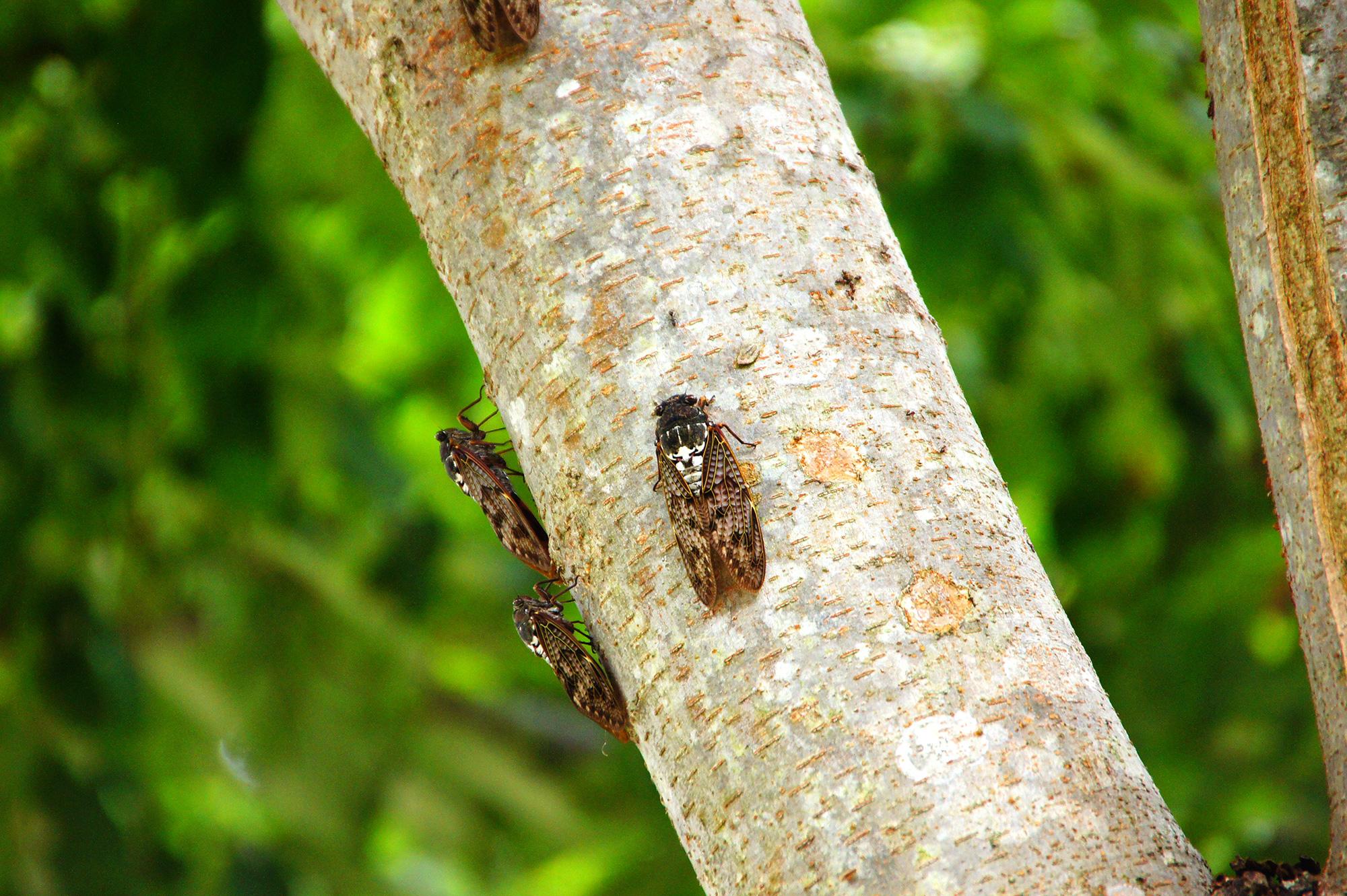 昆虫の蝉の写真素材(フリー)