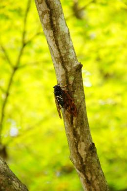 木にとまっている蝉