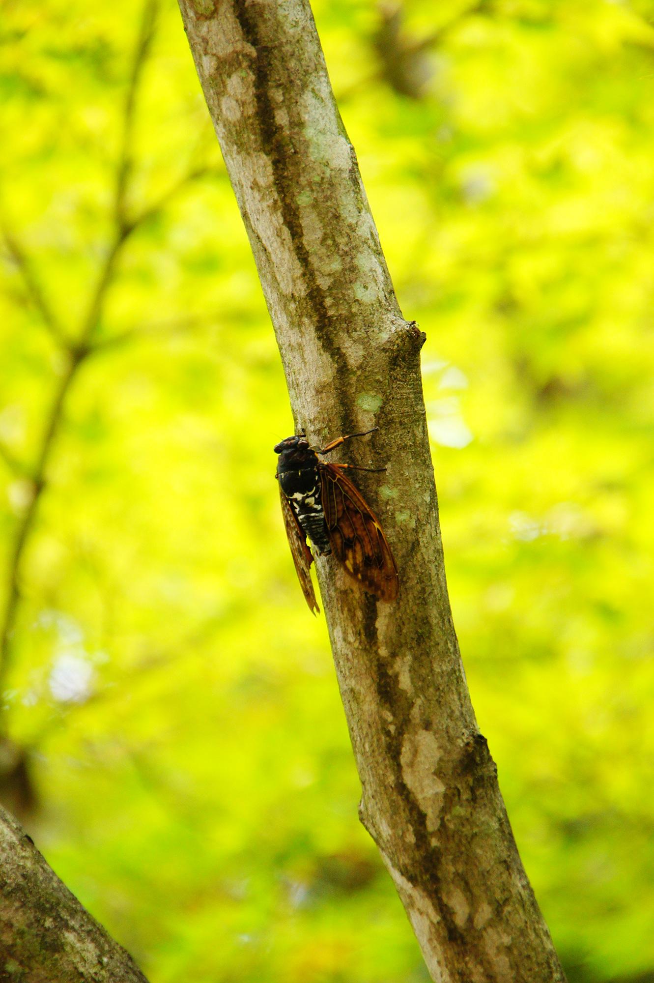 木にとまっている蝉の写真素材(フリー)