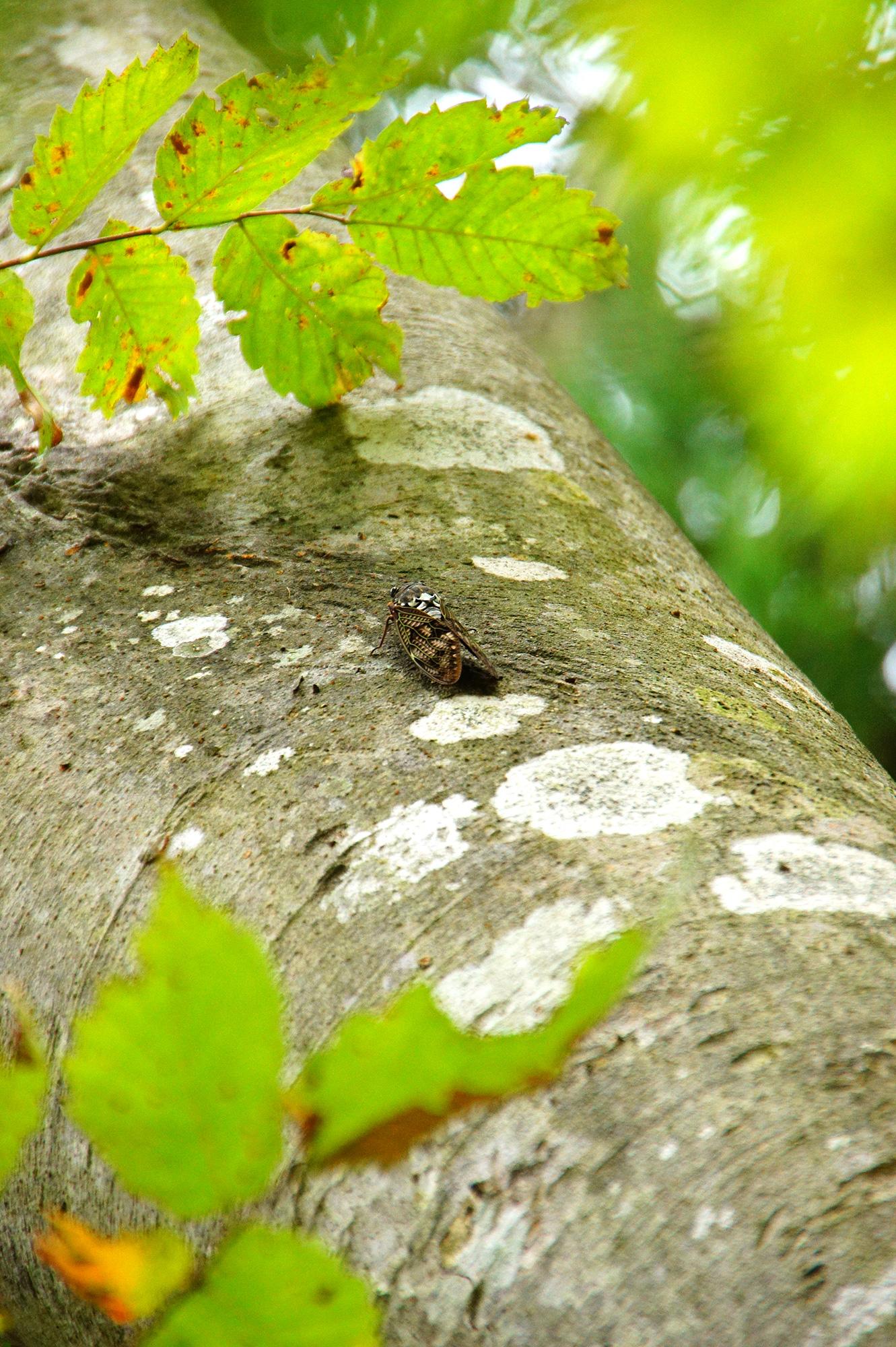 夏の昆虫の蝉の写真素材(フリー)