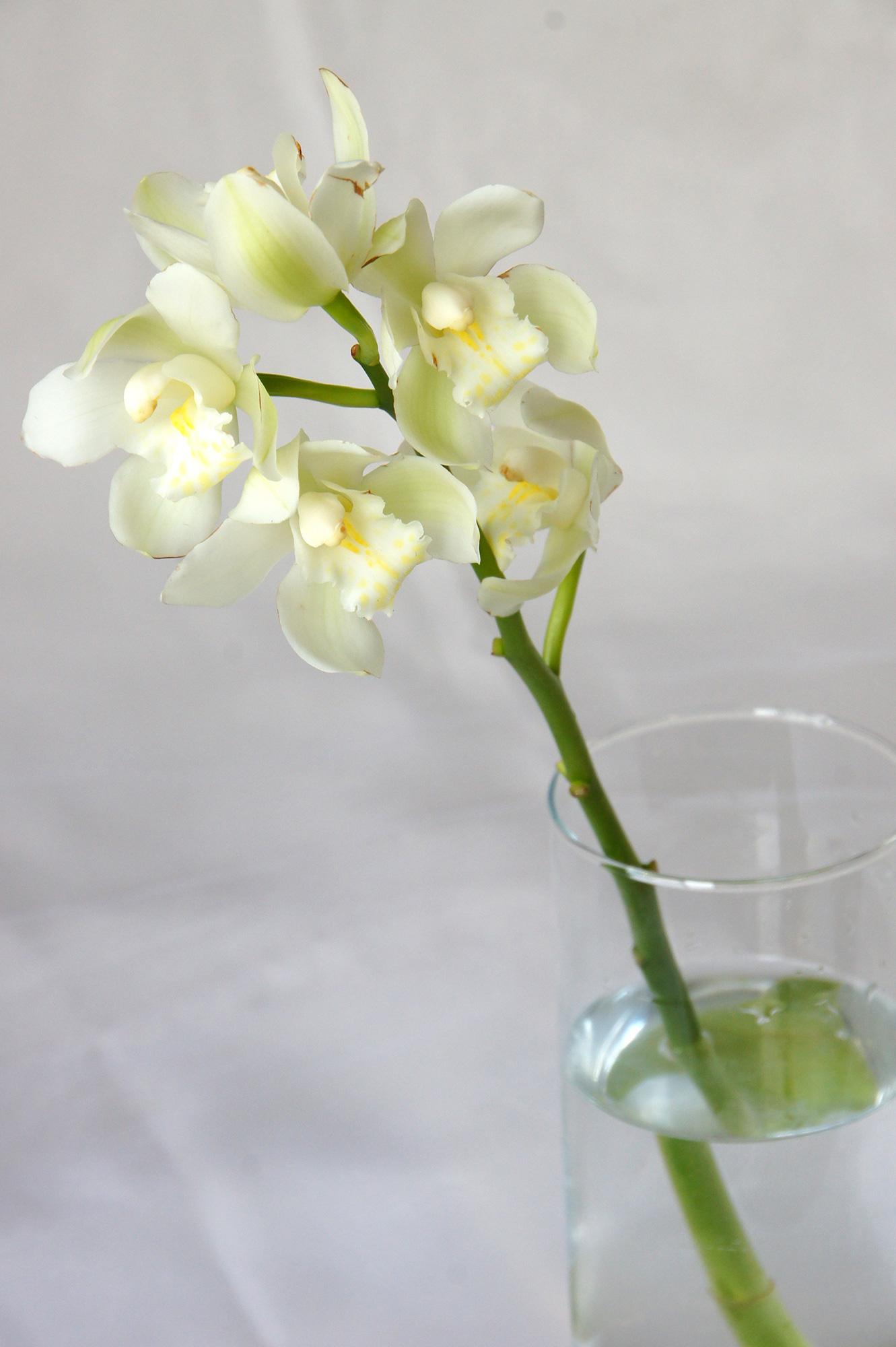 白いシンビジュームの花の無料写真素材